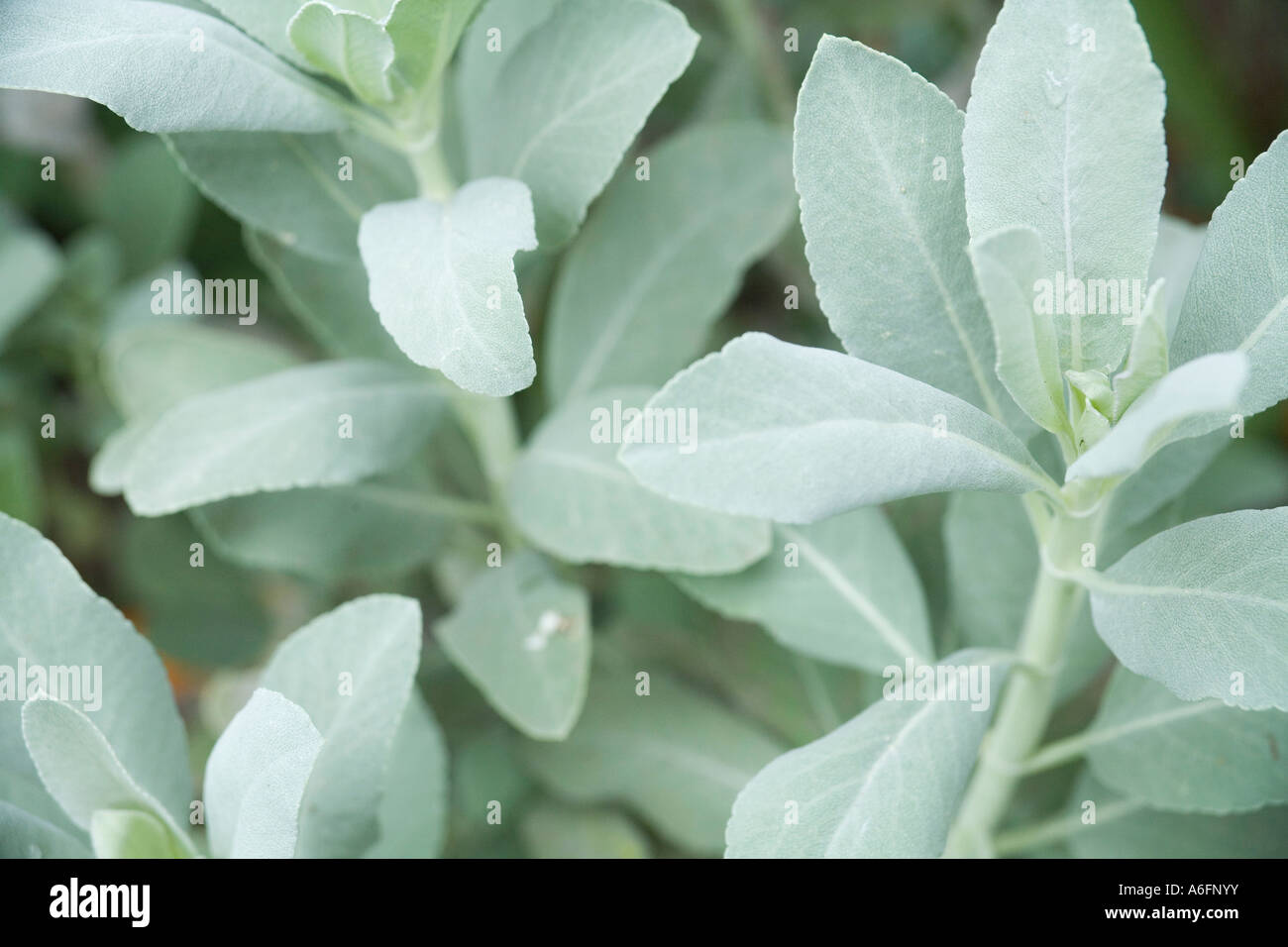 Close Up Of Native American Ceremonial White Sage Plant Stock Photo