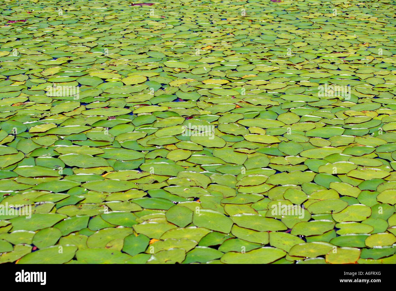 Massive water lily type aquatic plants Lake of the Woods Oregon - Stock Image