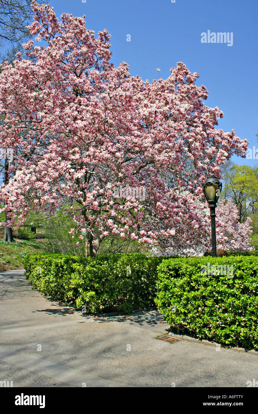 Magnolia Trees In Bloom Conservatory Garden Central Park New York