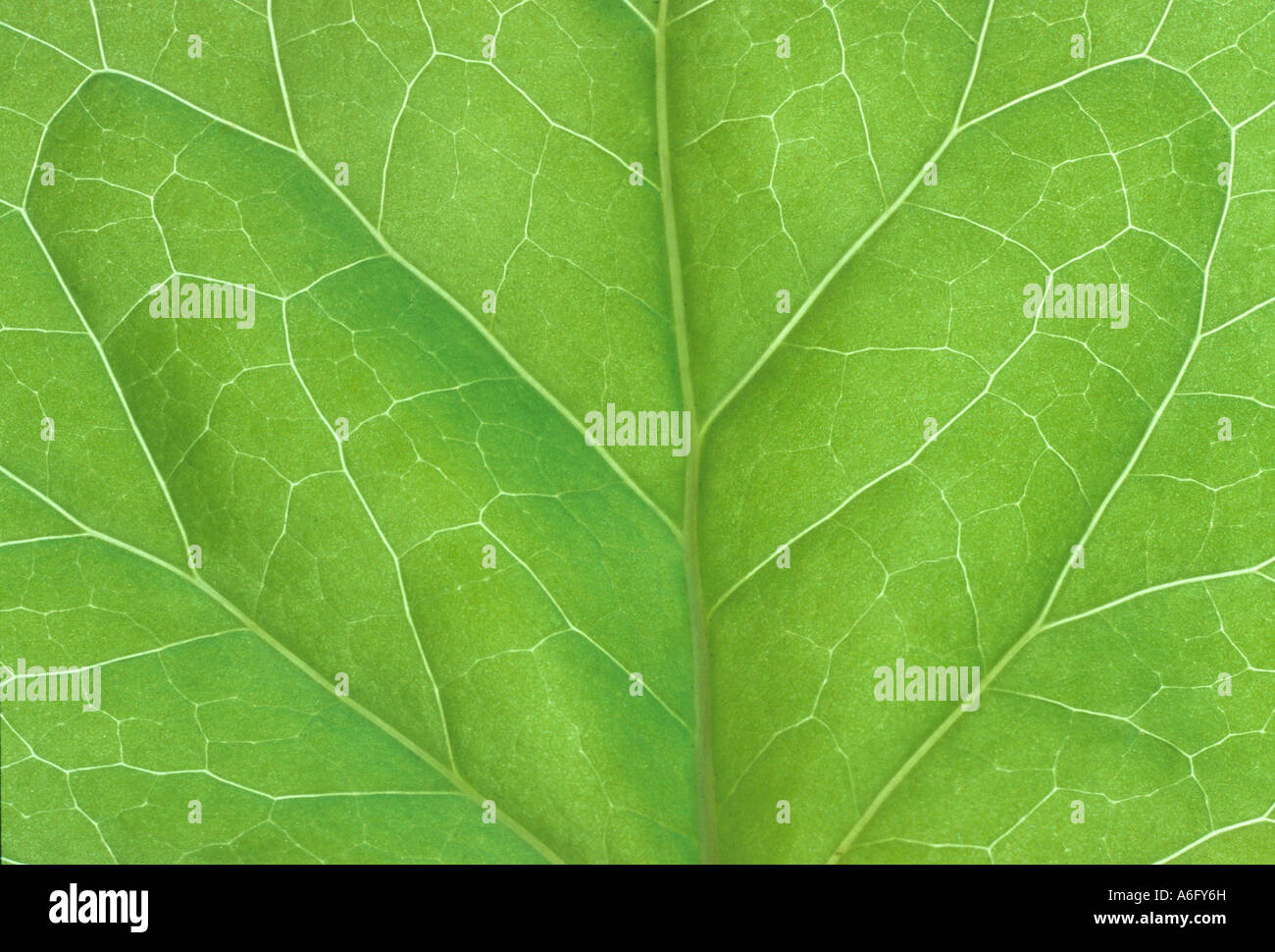 bilaterally symmetrical ivy leaf - Stock Image