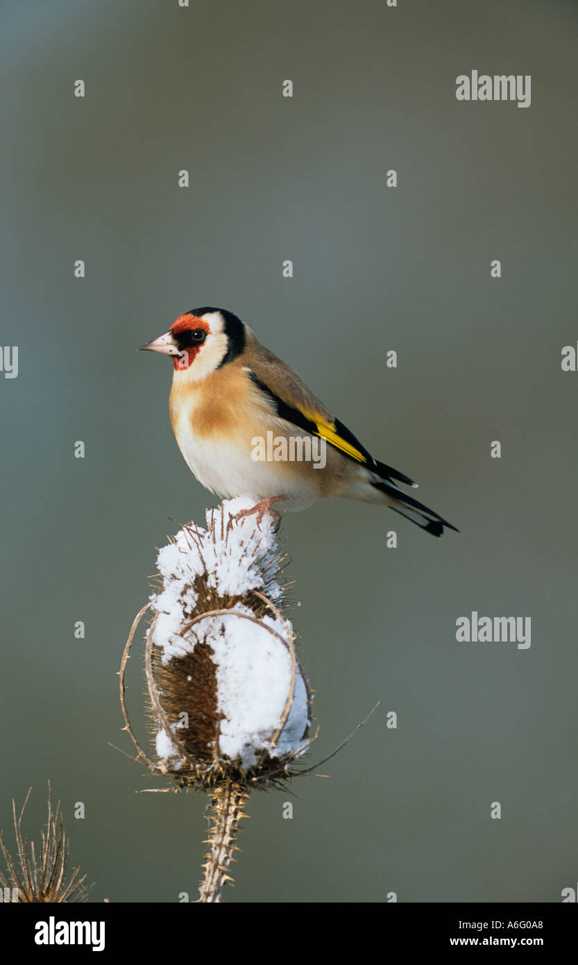 Goldfinch Carduelis carduelis Perched on Snowy Teasal - Stock Image