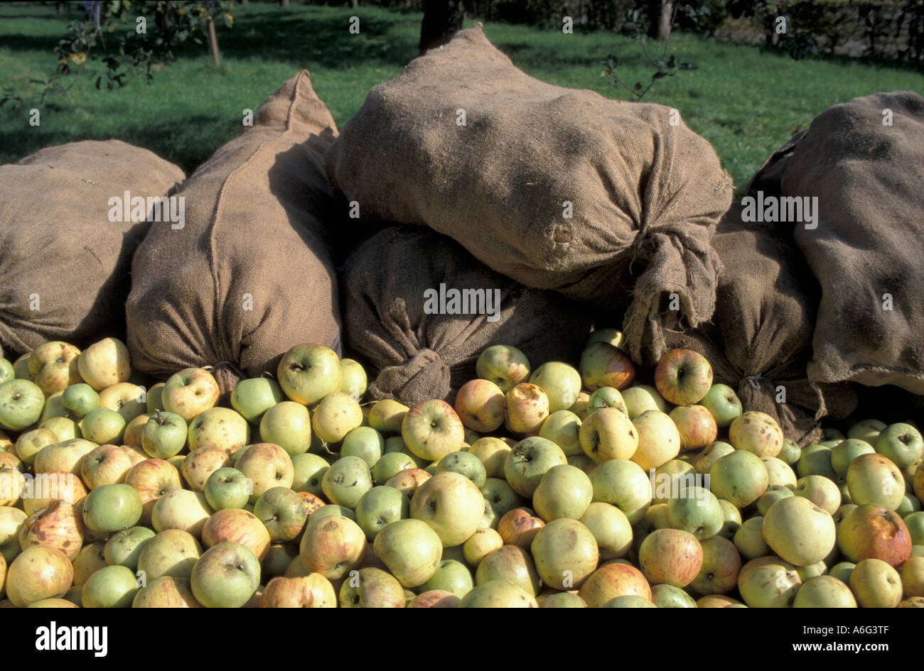 Apple harvesting, yellow apples (windfall) and sacks full of apples in orchard near Schorndorf, Rems-Murr district / county - Stock Image