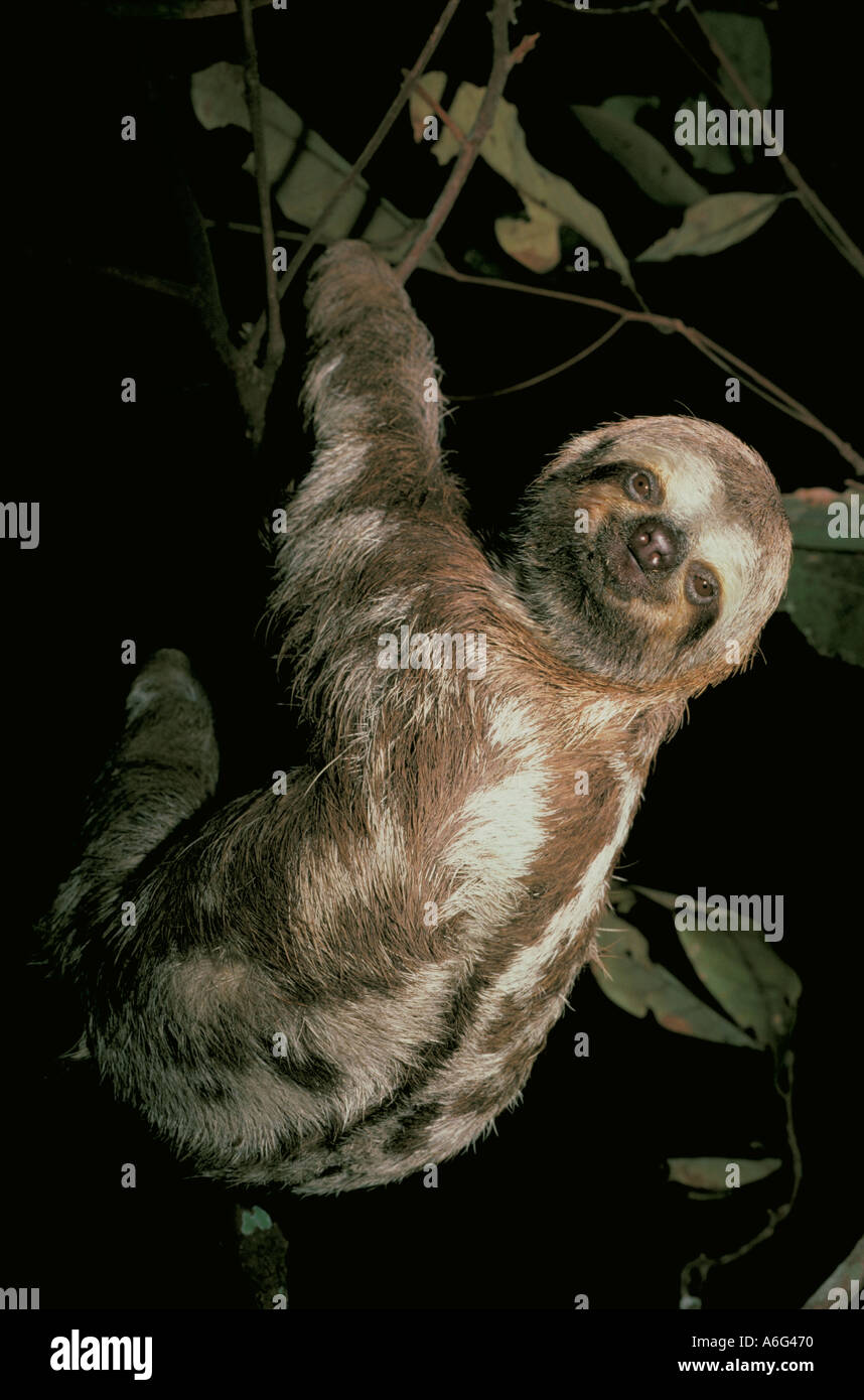 THREE TOED SLOTH (Bradypus variegatus) Amazon River BRAZIL Stock Photo