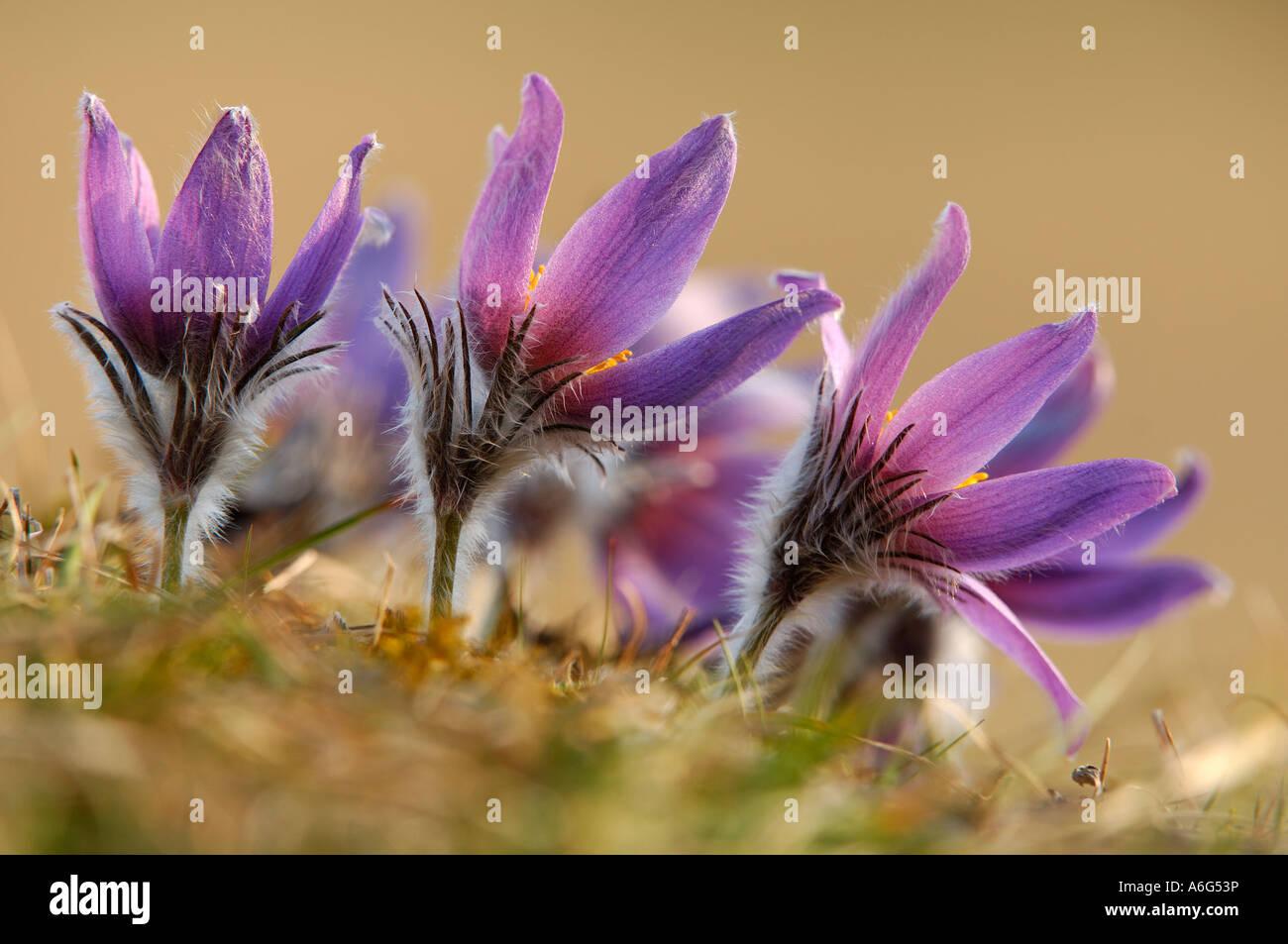 Pasque flower (Pulsatilla vulgaris) - Stock Image