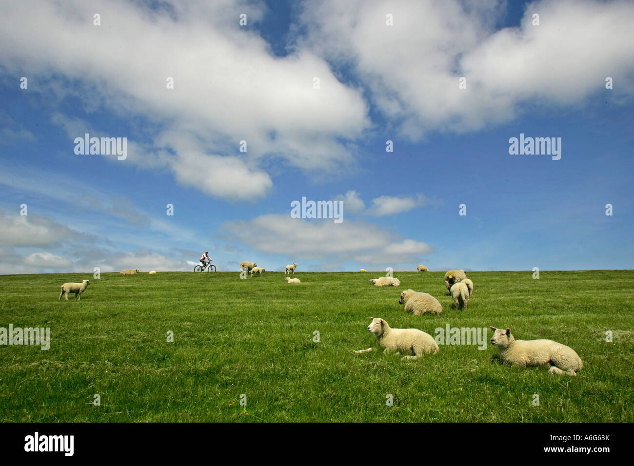 Dike with dike sheep and biker near Morsum, Sylt, Schleswig-Holstein, Germany Stock Photo