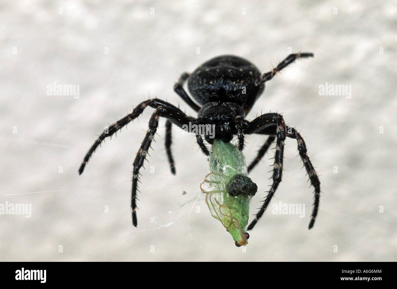 Walnut Orb-Weaver Spider (Nuctenea umbratica) green lacewing - Stock Image