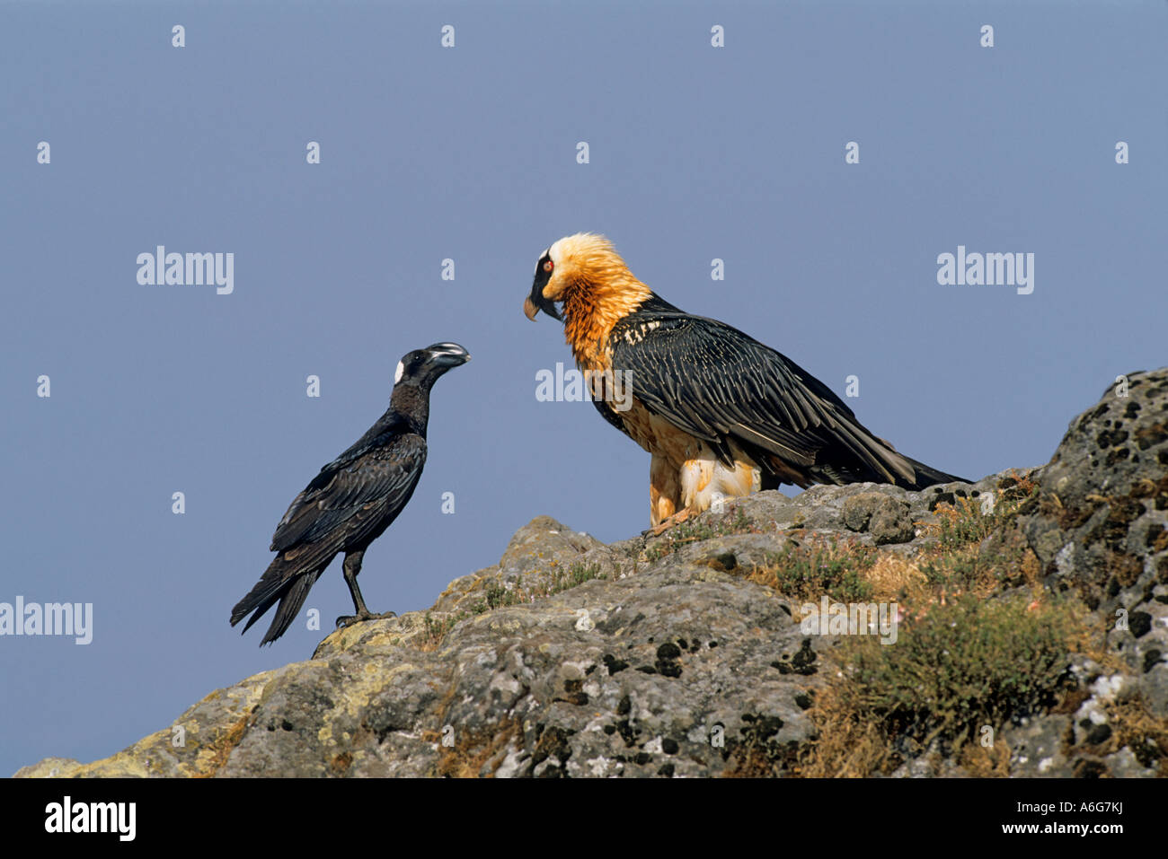 Bearded Vulture and Thick-billed Raven staring each other, (Gypaetus barbatus), (Corvus crassirostris) Semien Mountain - Stock Image