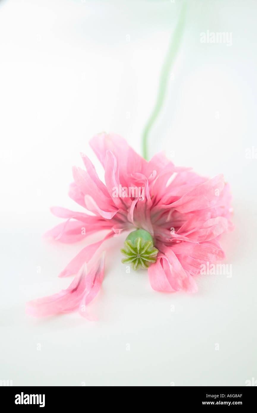 Poppy Head Pink 2004 - Stock Image