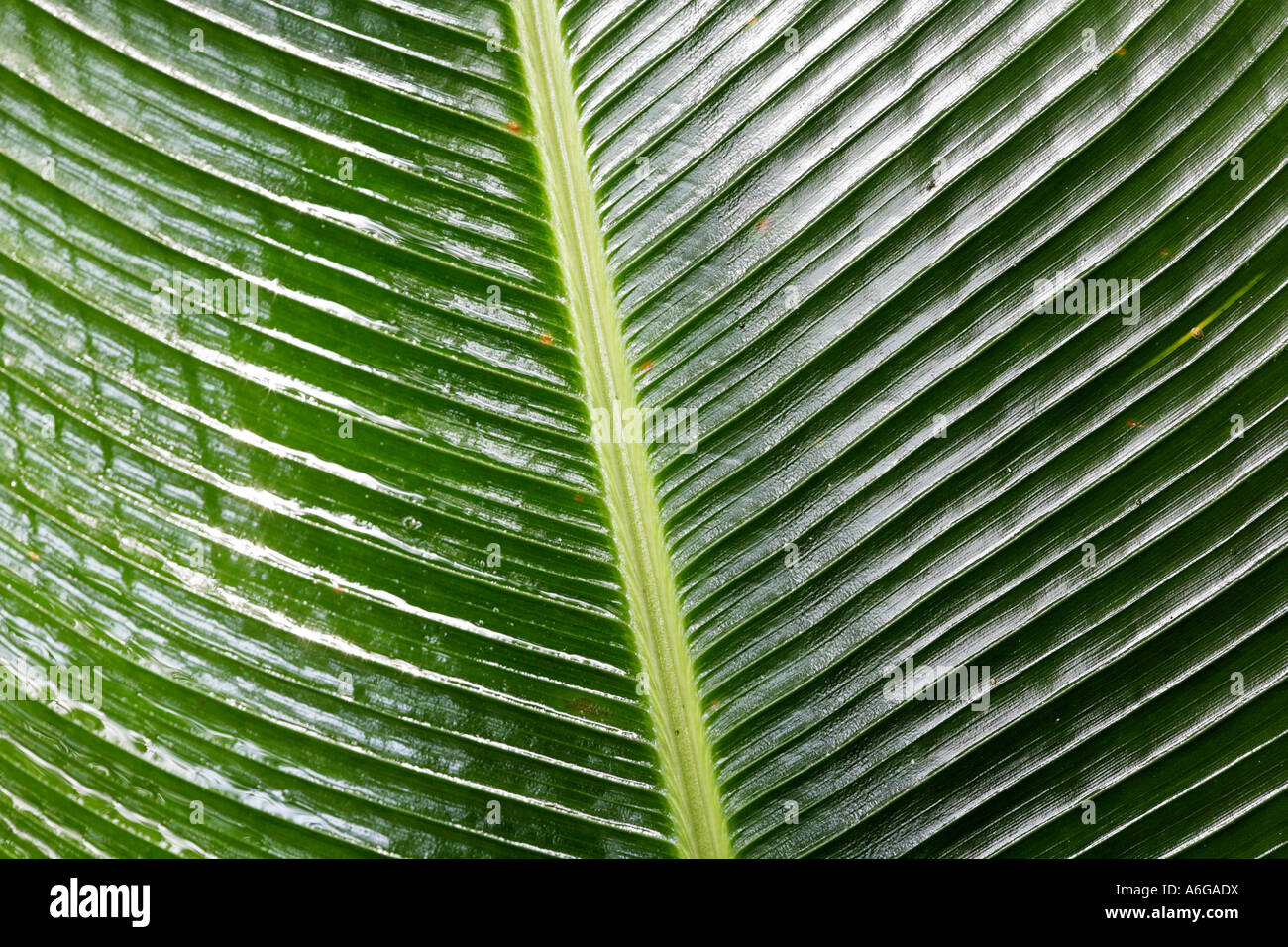 Leaf from Heliconia, Costa Rica - Stock Image