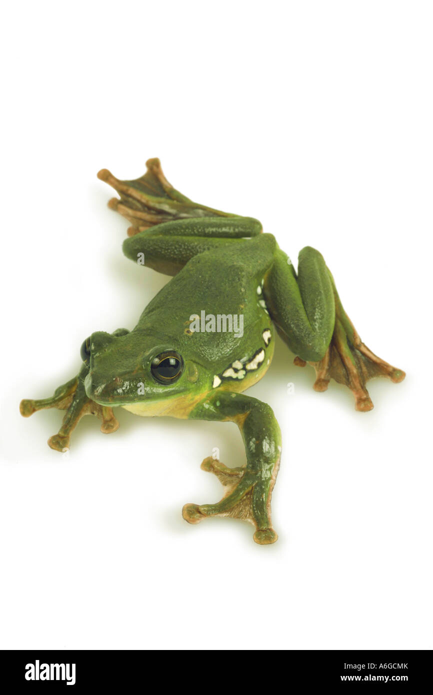 Blanford's whipping frog, asian gliding tree frog,  asian gliding treefrog (Rhacophorus dennysi), cutout with shadow Stock Photo