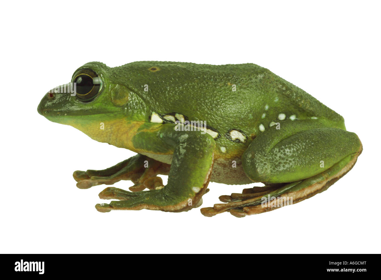 Blanford's whipping frog, asian gliding tree frog,  asian gliding treefrog (Rhacophorus dennysi) Stock Photo