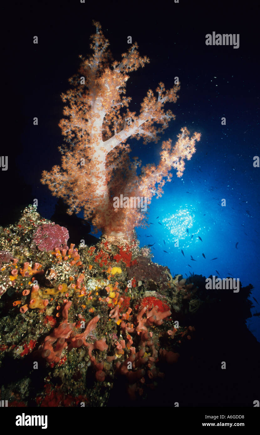 Large Soft Tree Coral Dendronephthya rubeola against the sun Jessie Beazley Reef Sulu Sea Palawan Philippines - Stock Image
