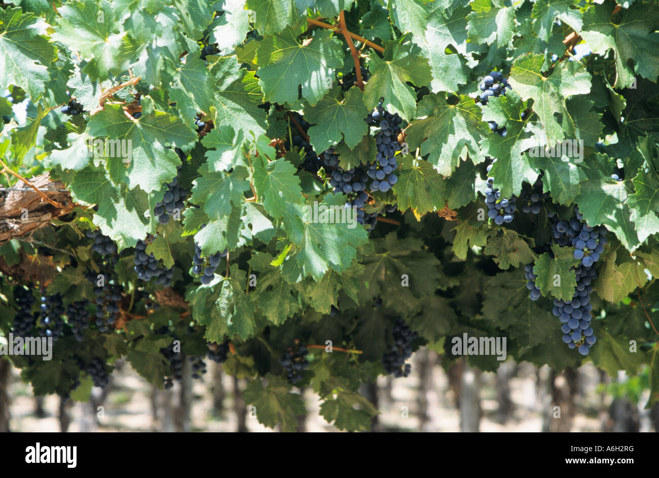 Grapes on vines - Stock Image