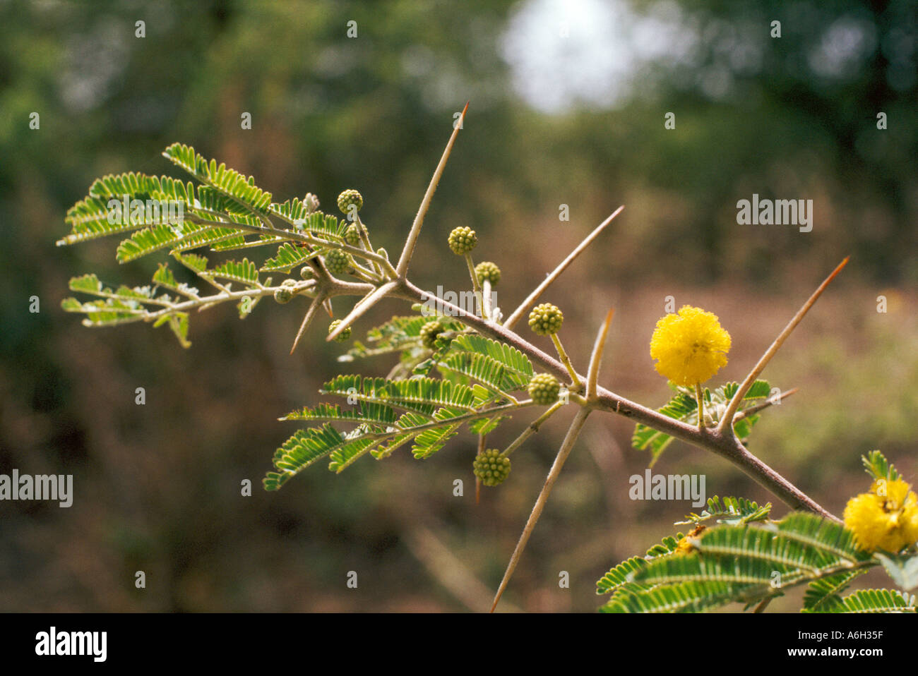 Acacia nilotica Mimosaceae Leguminosae a thorny small tree in sahel semi arid vegetation Islands of Lake Chad Chad Africa - Stock Image