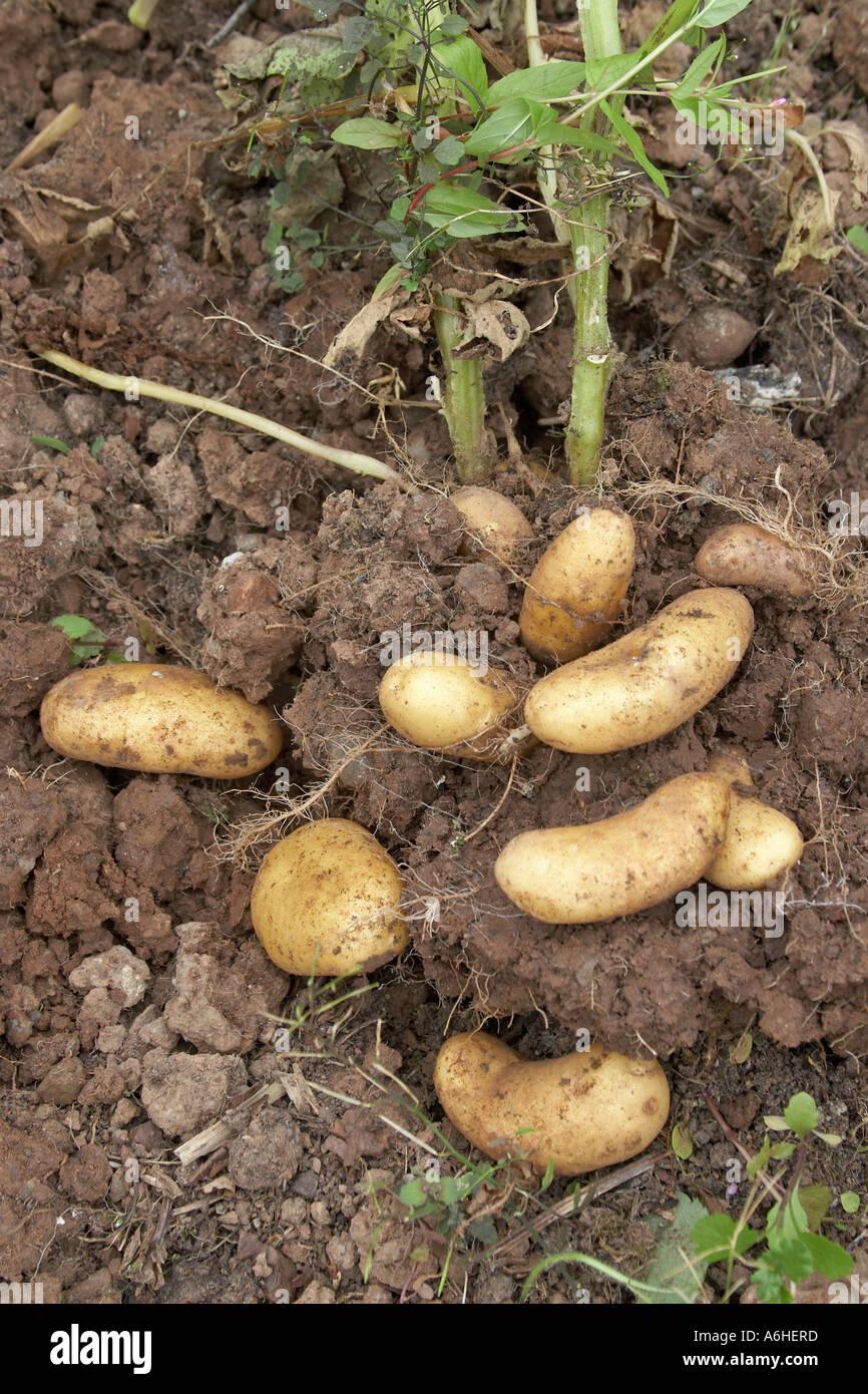 Organic new potatoes in a vegetable garden Northern Ireland UK NAOH ...
