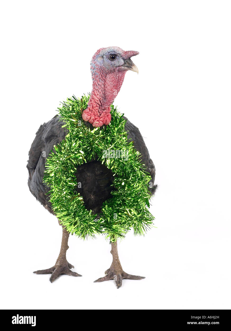 A turkey with tinsel around the neck ready for Christmas. - Stock Image