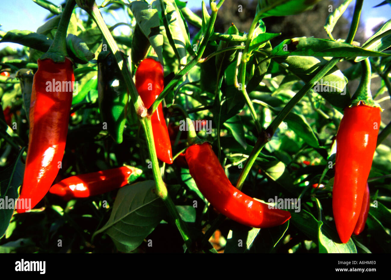 Red chili pepper.Guadalajara.Mexico - Stock Image