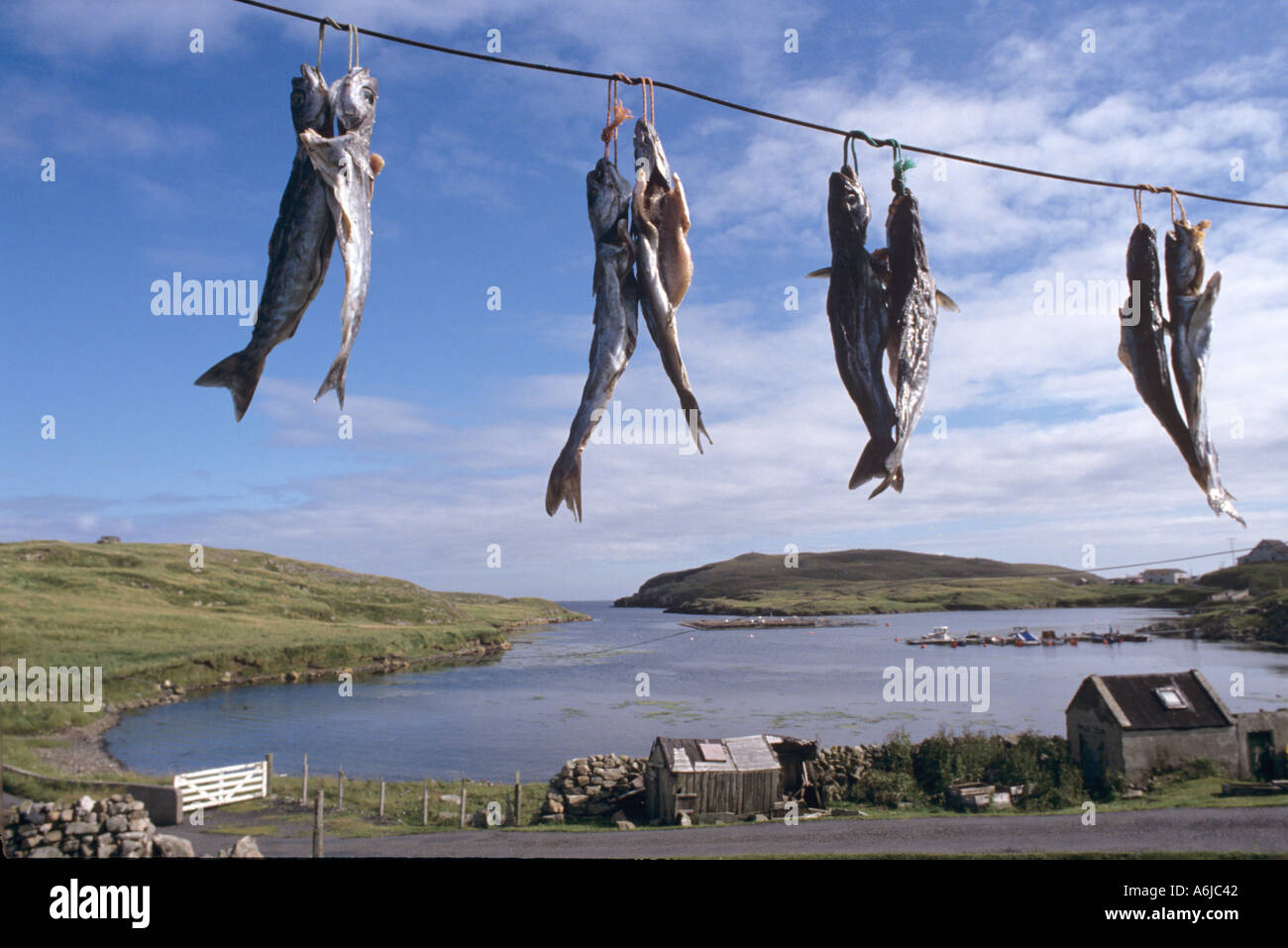 In Autumn pollack or saithe are hung up in pairs air dried and salted for traditional winter food Shetland UK - Stock Image
