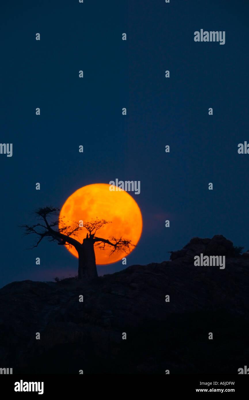 Baobab Tree (Adansonia digitata) on Mmamagwa Hill at moonrise, Northern Thuli Game Reserve, Botswana - Stock Image