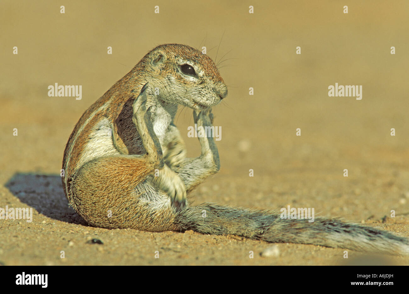 Cape Ground Squirrel (Xerus inauris), female sitting - Stock Image