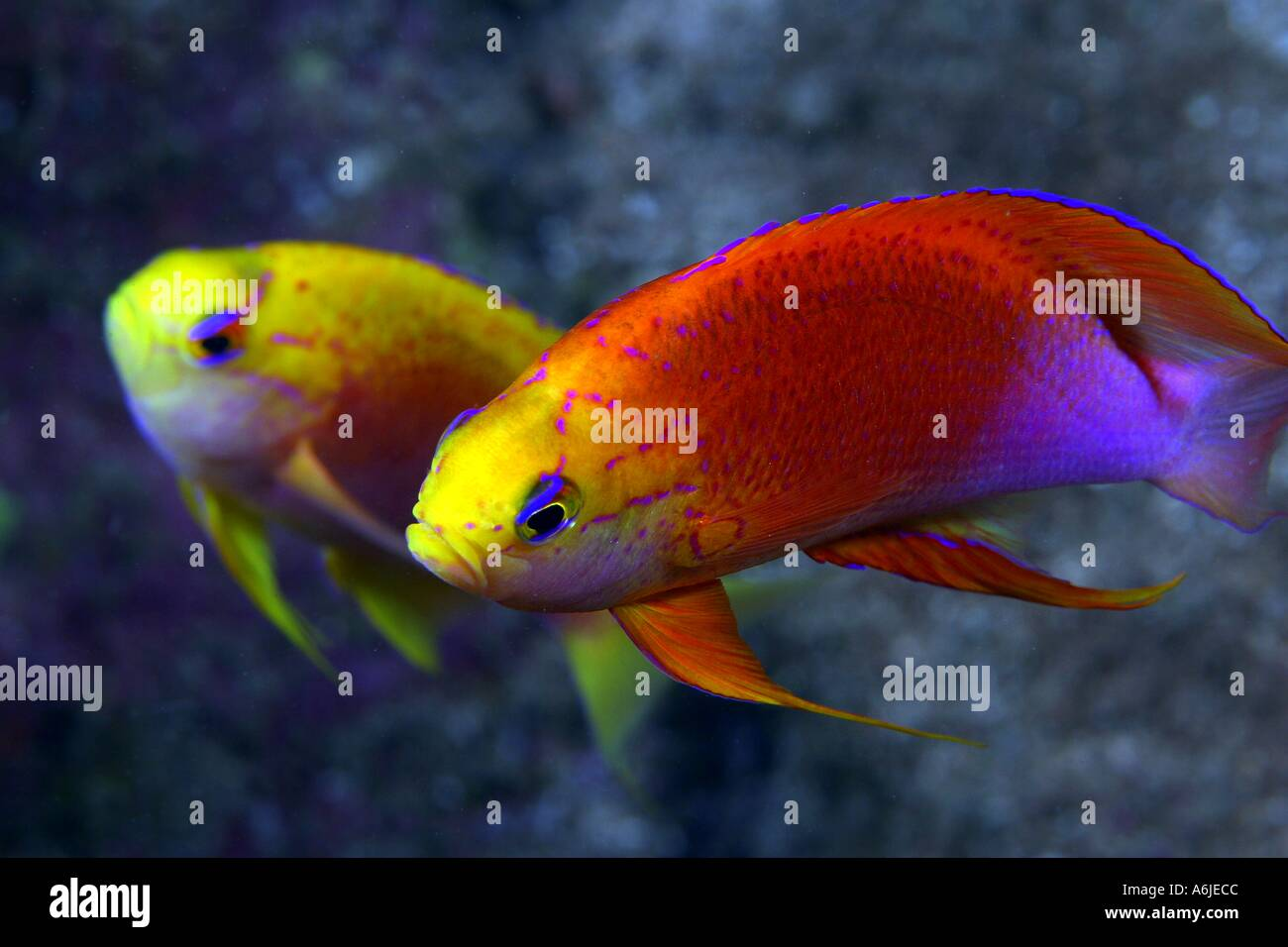 MALE and FEMALE FAIRY ANTHIAS Pseudanthias ventralis hawaiiensis ...
