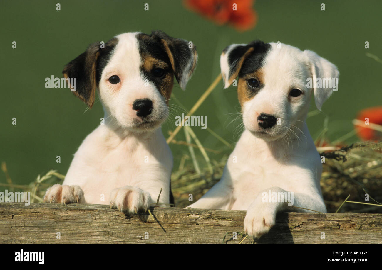 Jack Russell Terrier (Canis lupus familiaris), two puppies behind a wooden plank - Stock Image