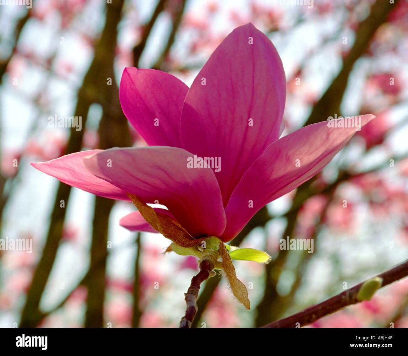 Magnolia Alexandrina Blossom Alexandrina Saucer Magnolia X Stock