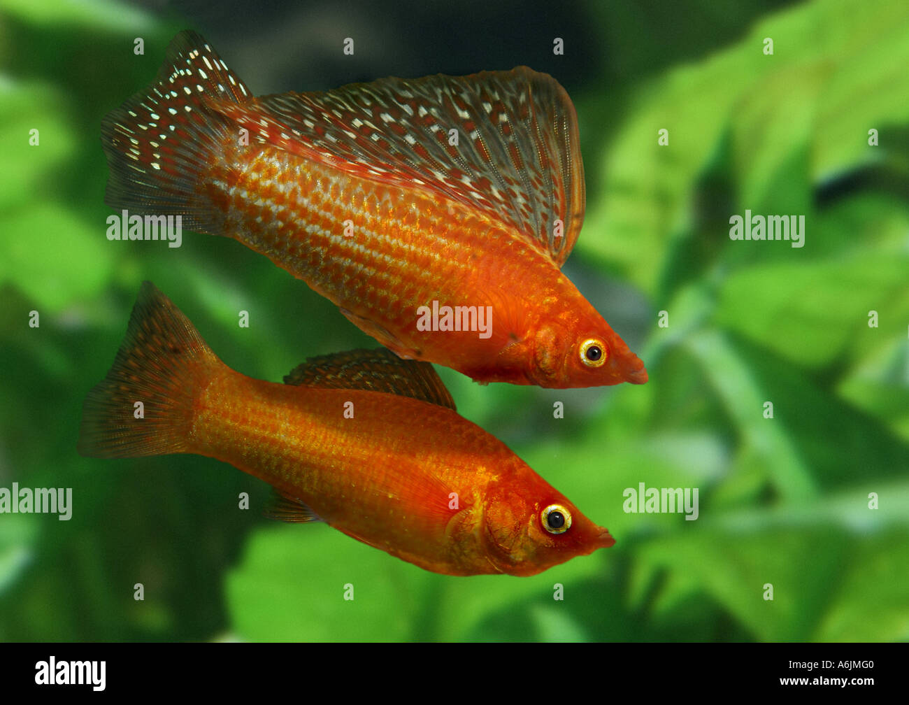 red sailfin molly (Poecilia velifera) Stock Photo
