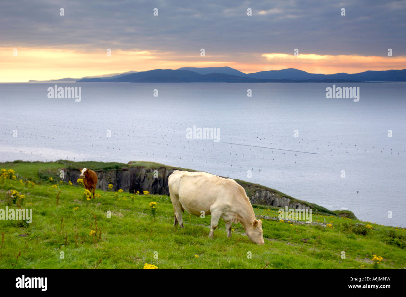 Cow grazing on Atlantic coastline West Cork Ireland - Stock Image