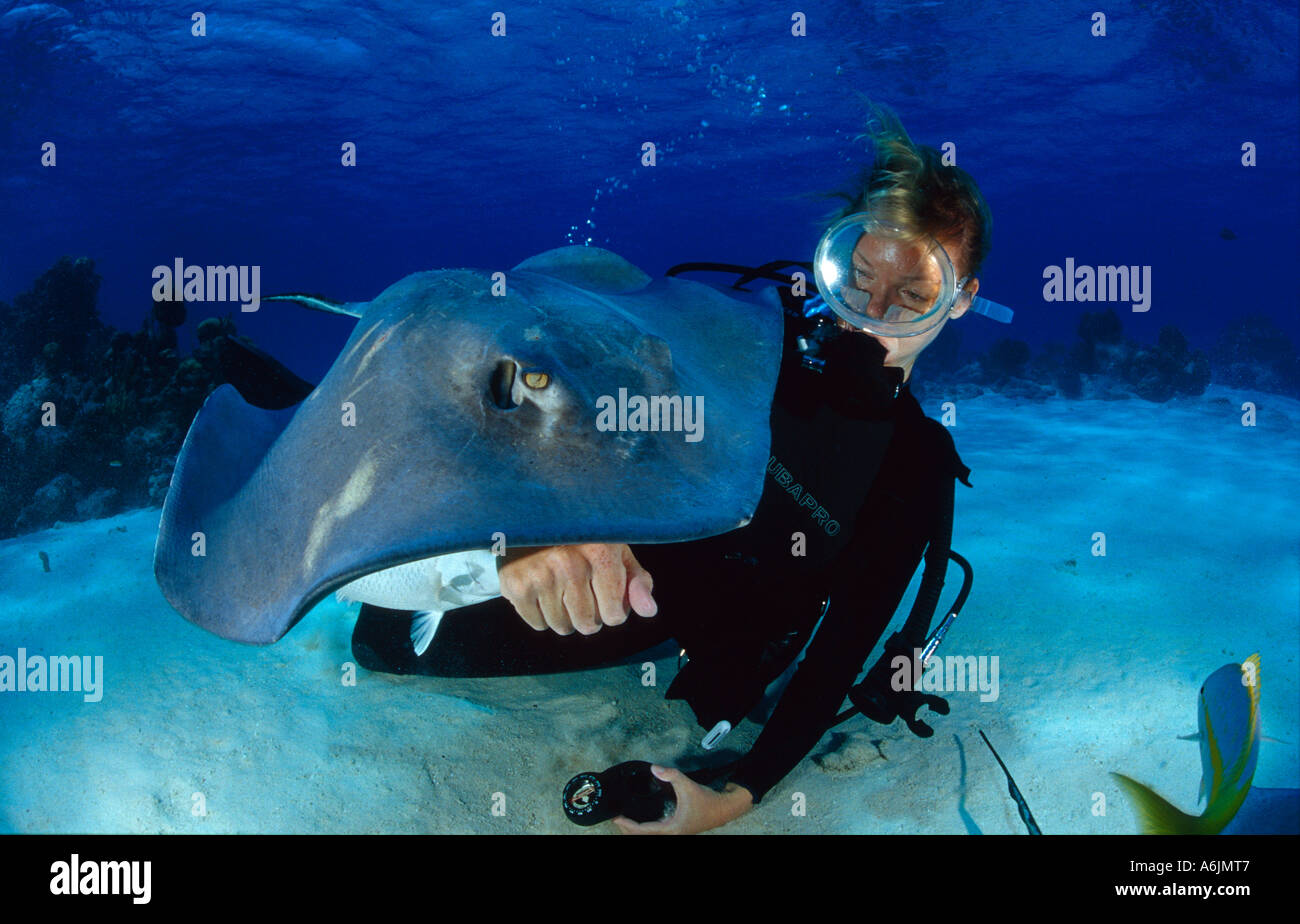 scuba diver feeding Southern Stingray, Dasyatis americana, Stingray City  Cayman Islands  Caribbean Sea - Stock Image