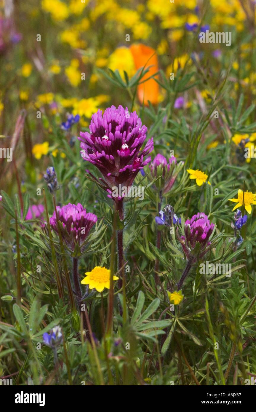 Wildflower bloom of GOLDFIELDS Lasthenia californica OWLS CLOVER Castilleja exserta near the CALIFORNIA POPPY RESERVE Stock Photo