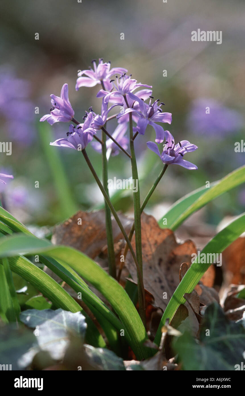 twin-leaf squill (Scilla bifolia), blooming Stock Photo