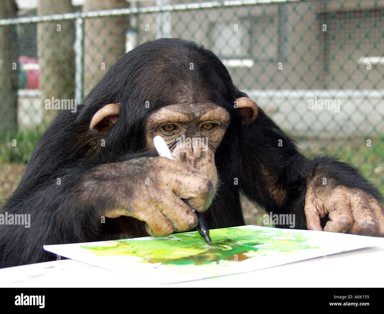 young chimpanzee drawing on a fingerpainting she made with a sharpie
