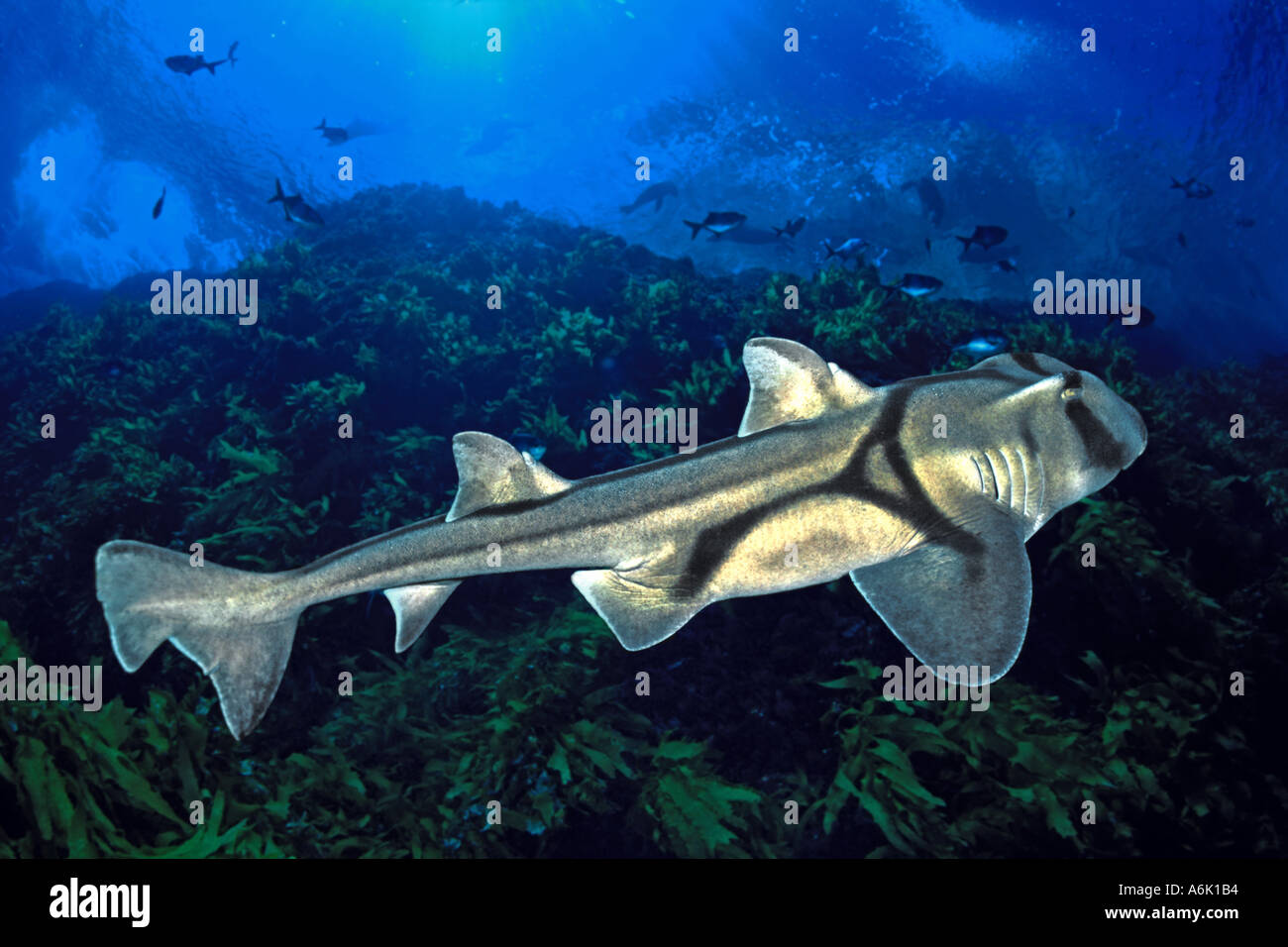 Port Jackson shark Heterodontus portusjacksoni South Australia - Stock Image