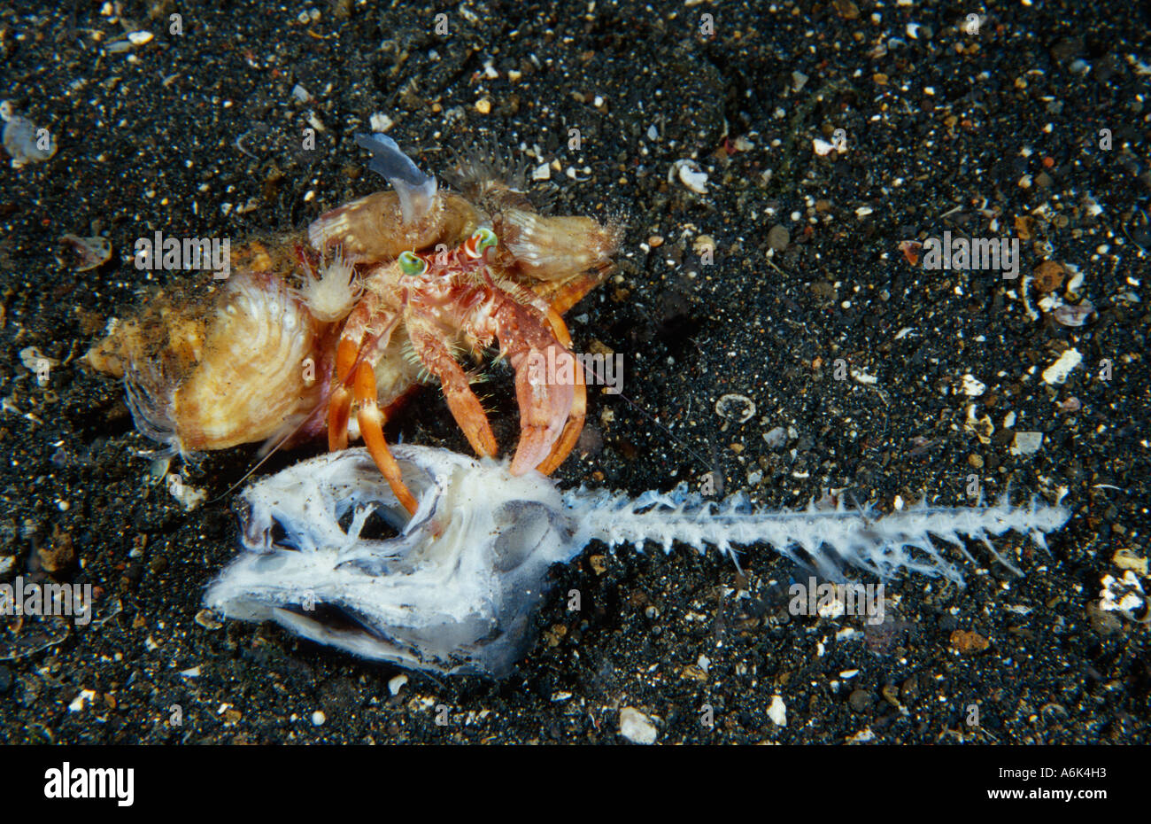 hermit crab eating dead fish, Indonesia, Lembeh Straits - Stock Image