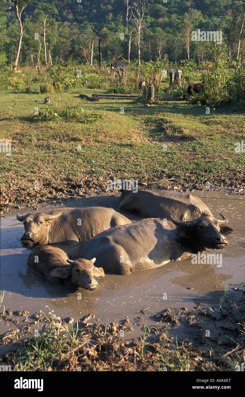 Cambodia water buffalo trying to keep cool in a muddy pool - Stock Image