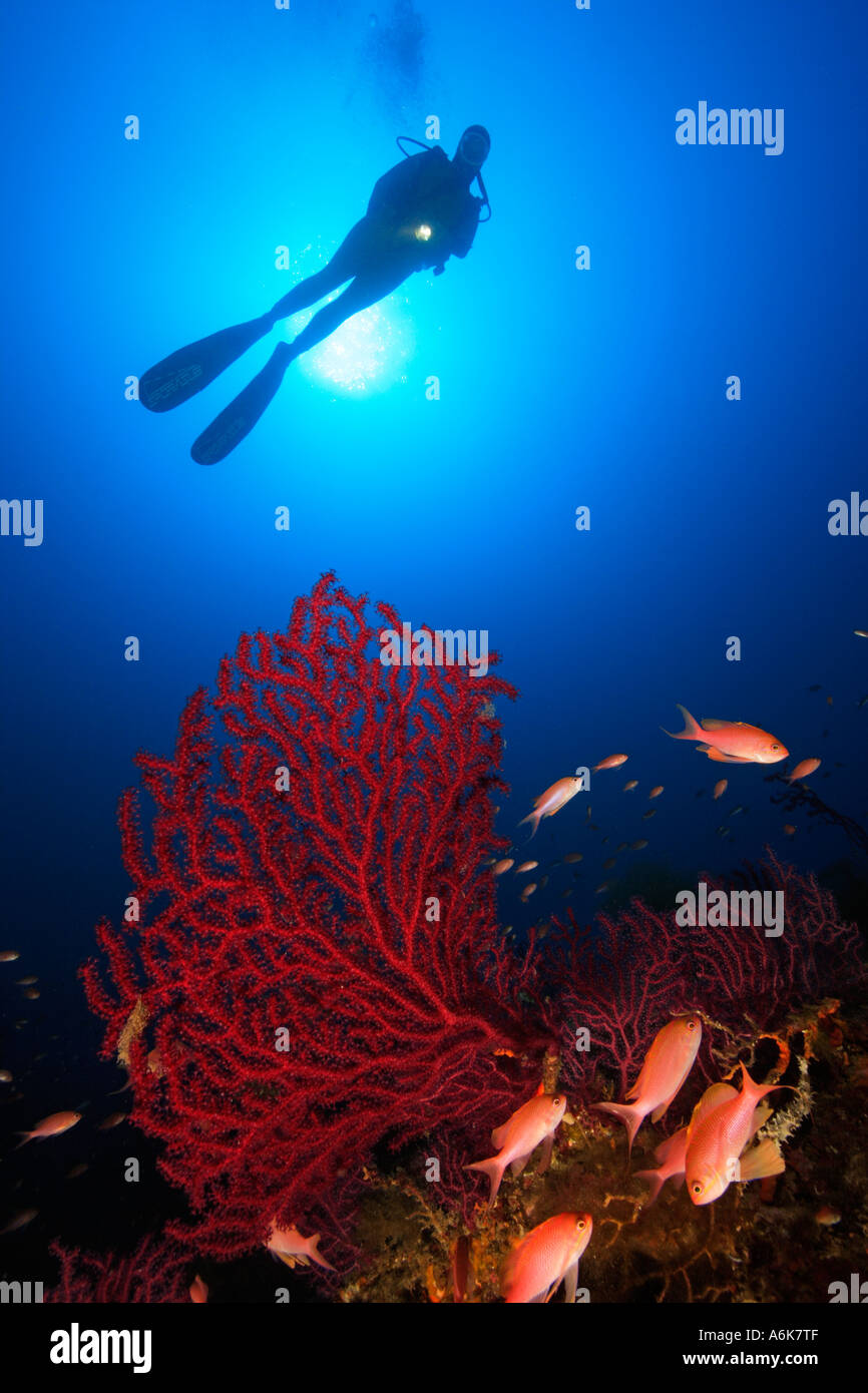 scuba diver on reef with red gorgonians Paramuricea clavata Stock Photo