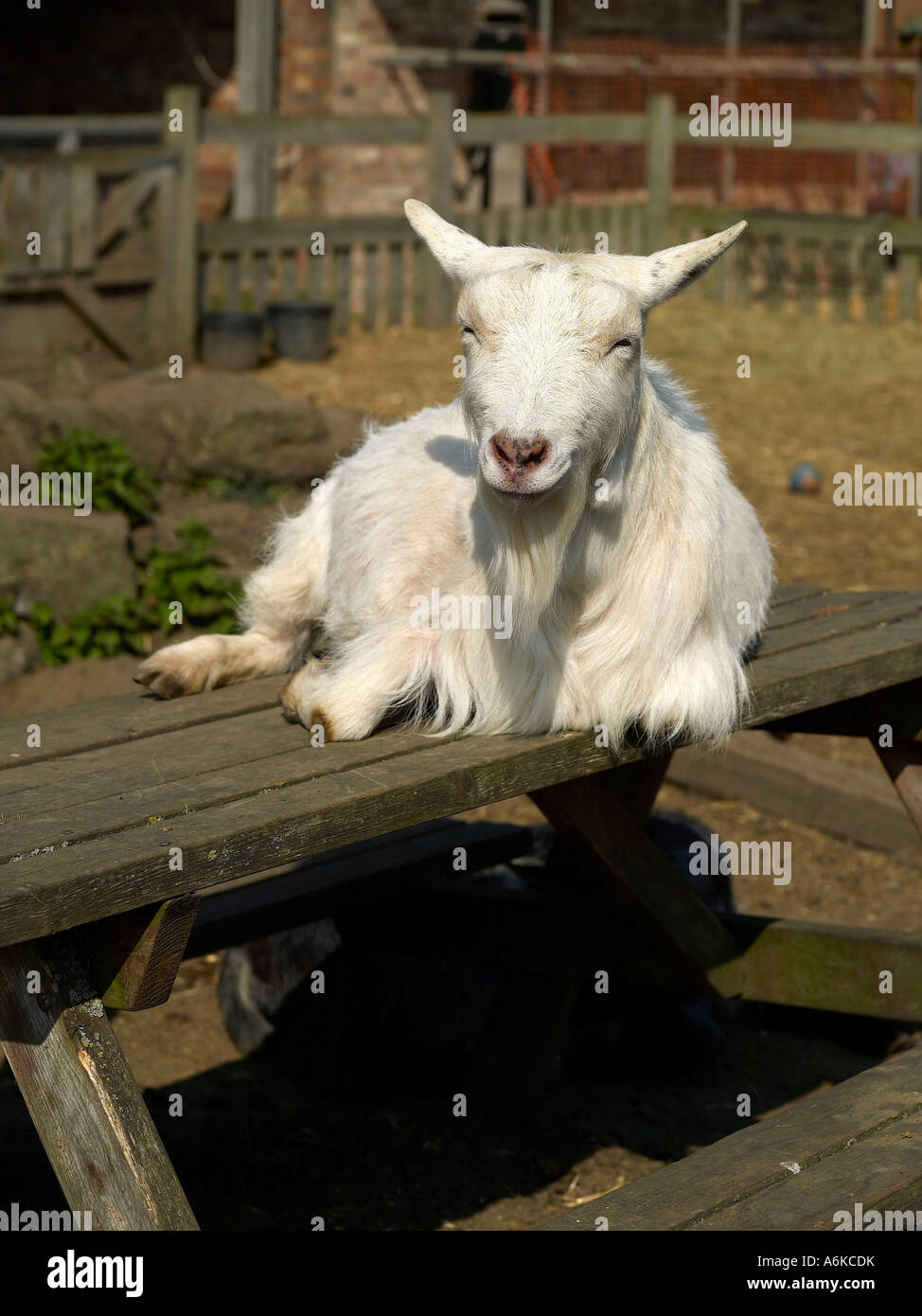 A white goat sitting on top of a table smiling in the sunshine. - Stock Image