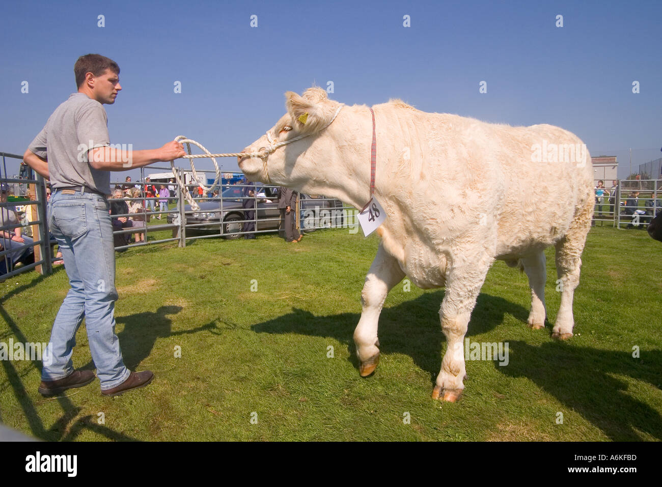 dh Annual Cattle Show SHAPINSAY ORKNEY Beef cow in ring Charolais Heifer  at agricultural show Stock Photo