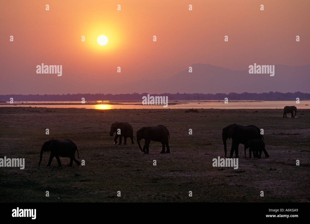 AFRICAN ELEPHANTS are matriarchal society with the bulls living