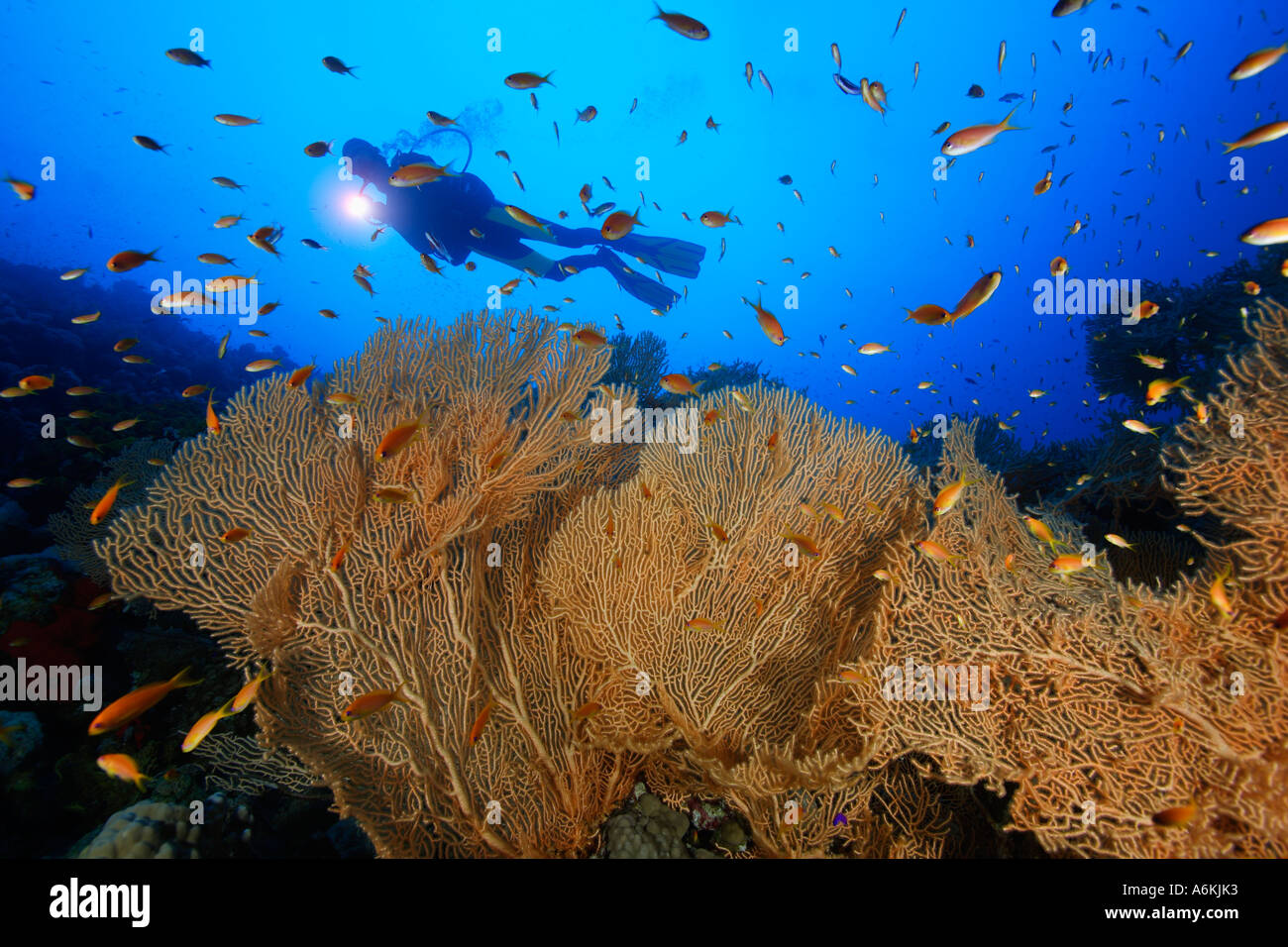 scuba diver with large gorgonian fans - Stock Image