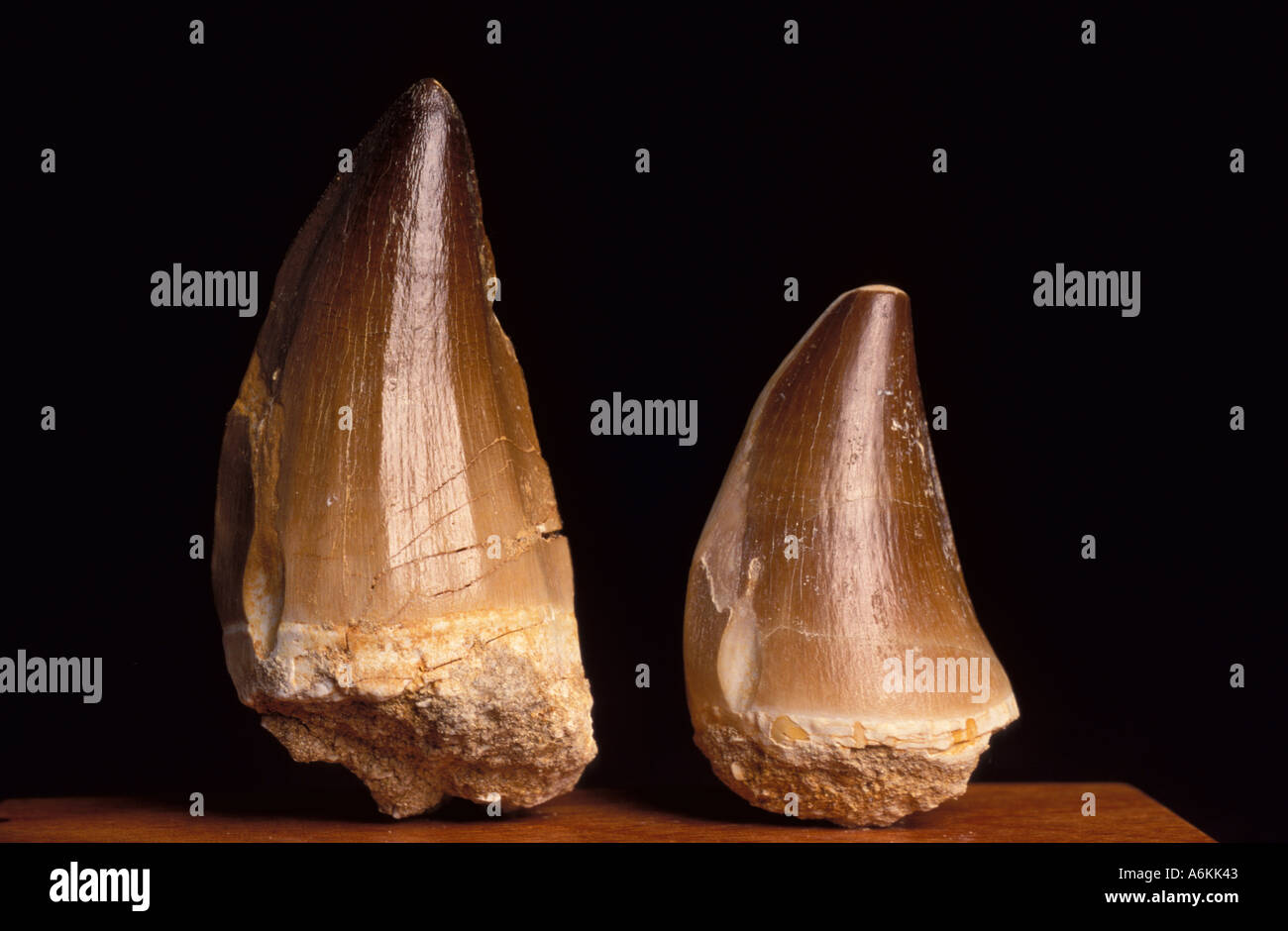 Marine Reptile Tooth Fossil Cretaceous period time 65 Million years ago - Stock Image