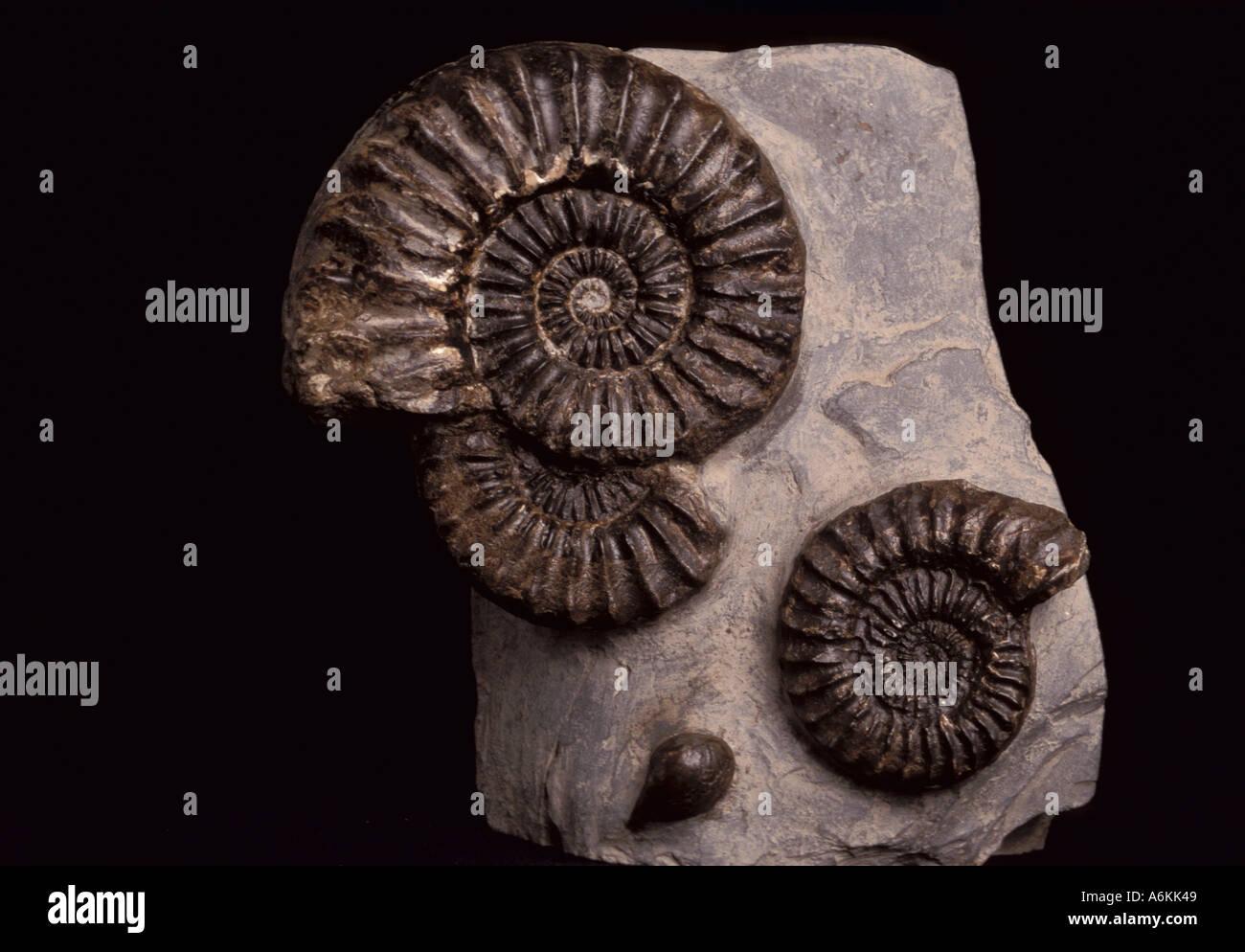Ammonites Fossil on stone Jurassic period time 200 Million years ago spiral mollusc like animal - Stock Image