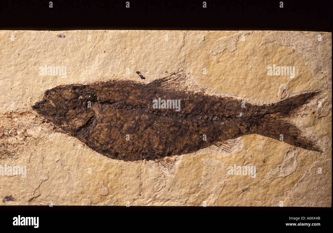 Fish Fossil approx Cretaceous period time 150 Million years ago - Stock Image