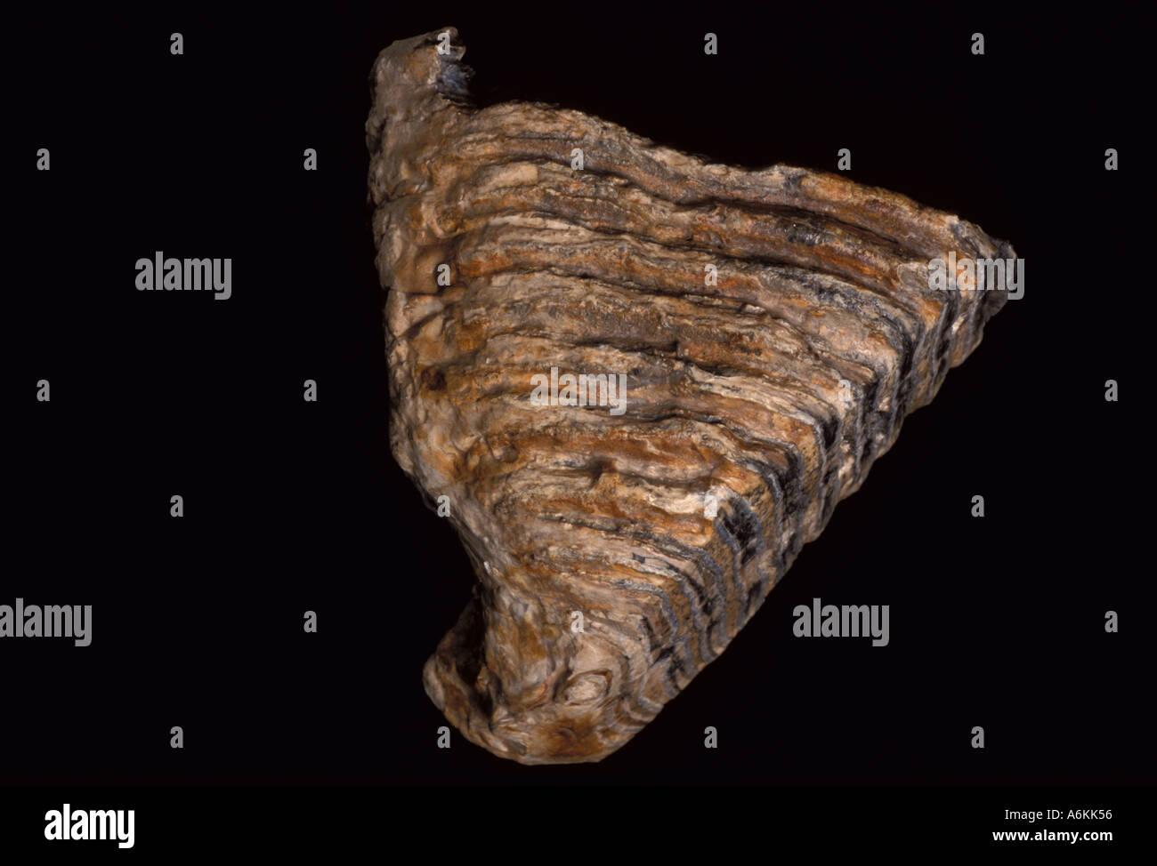 Mammuthus Tooth Fossil Miocene Pleistocene period time 10 Million Years Ago - Stock Image