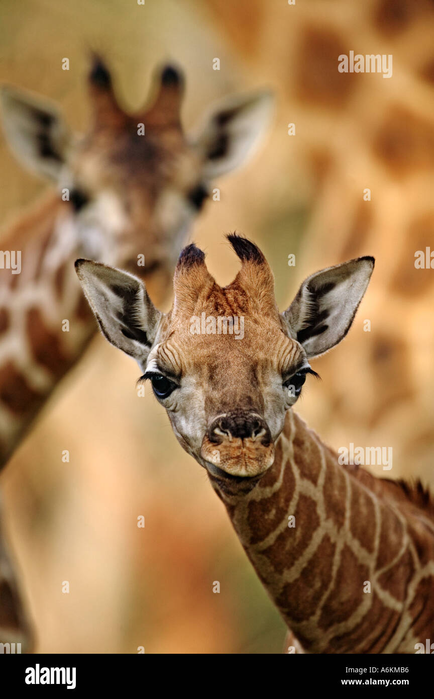 Rothschild Giraffe Giraffa camelopardalis rothschildi Nine day old baby Lake Nakuru National Park Kenya Dist East Africa - Stock Image