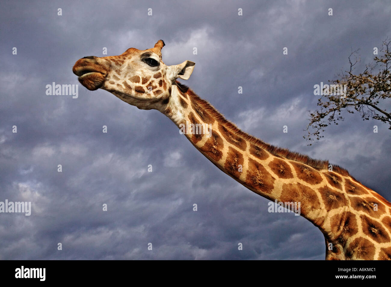 Rothschild Giraffe Giraffa camelopardalis rothschildi Portrait of adult with stormy sky in background Kenya - Stock Image