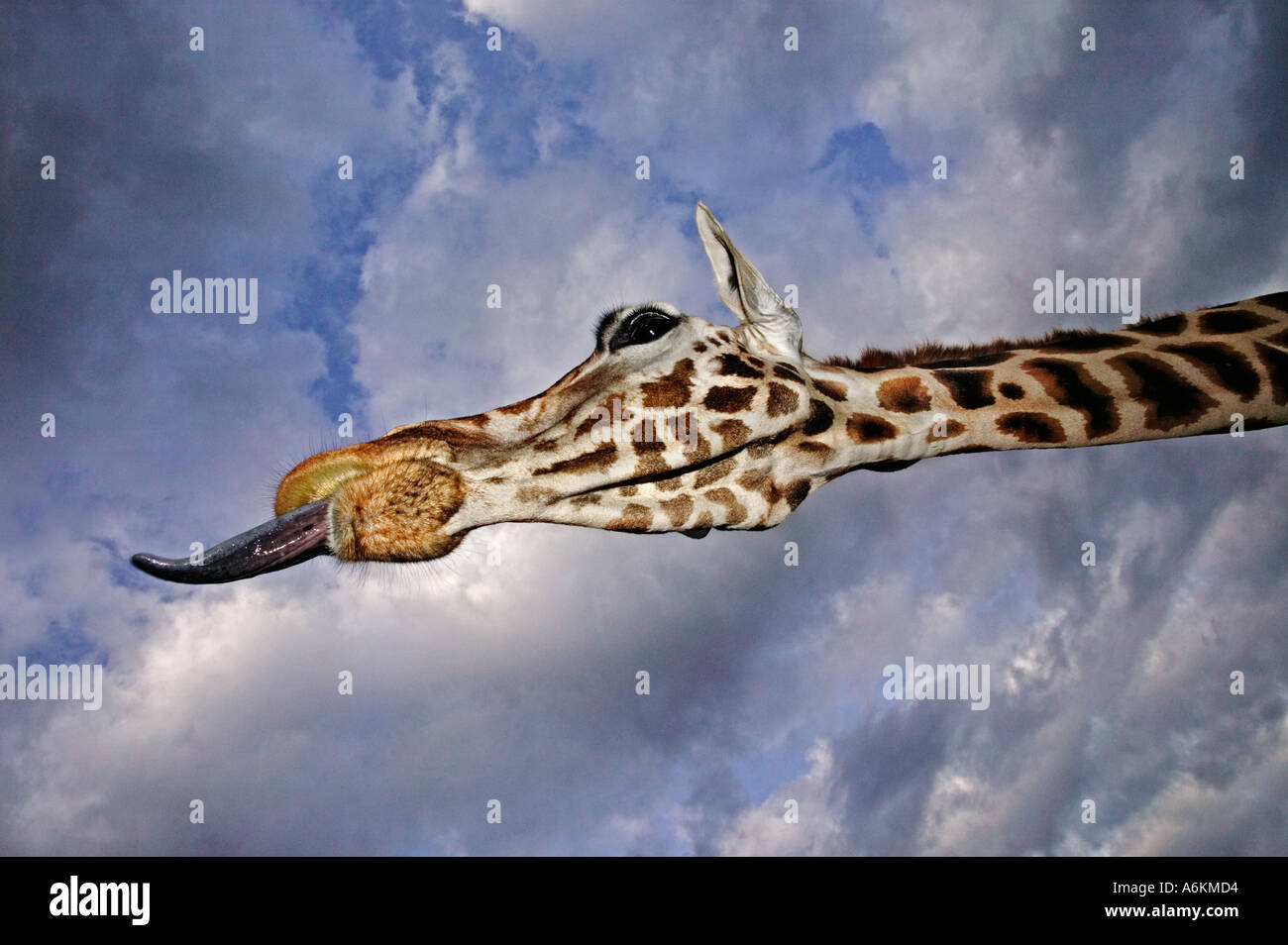 Rothschild Giraffe Giraffa camelopardalis rothschildi Portrait of adult and tongue extended with stormy sky in background Kenya - Stock Image