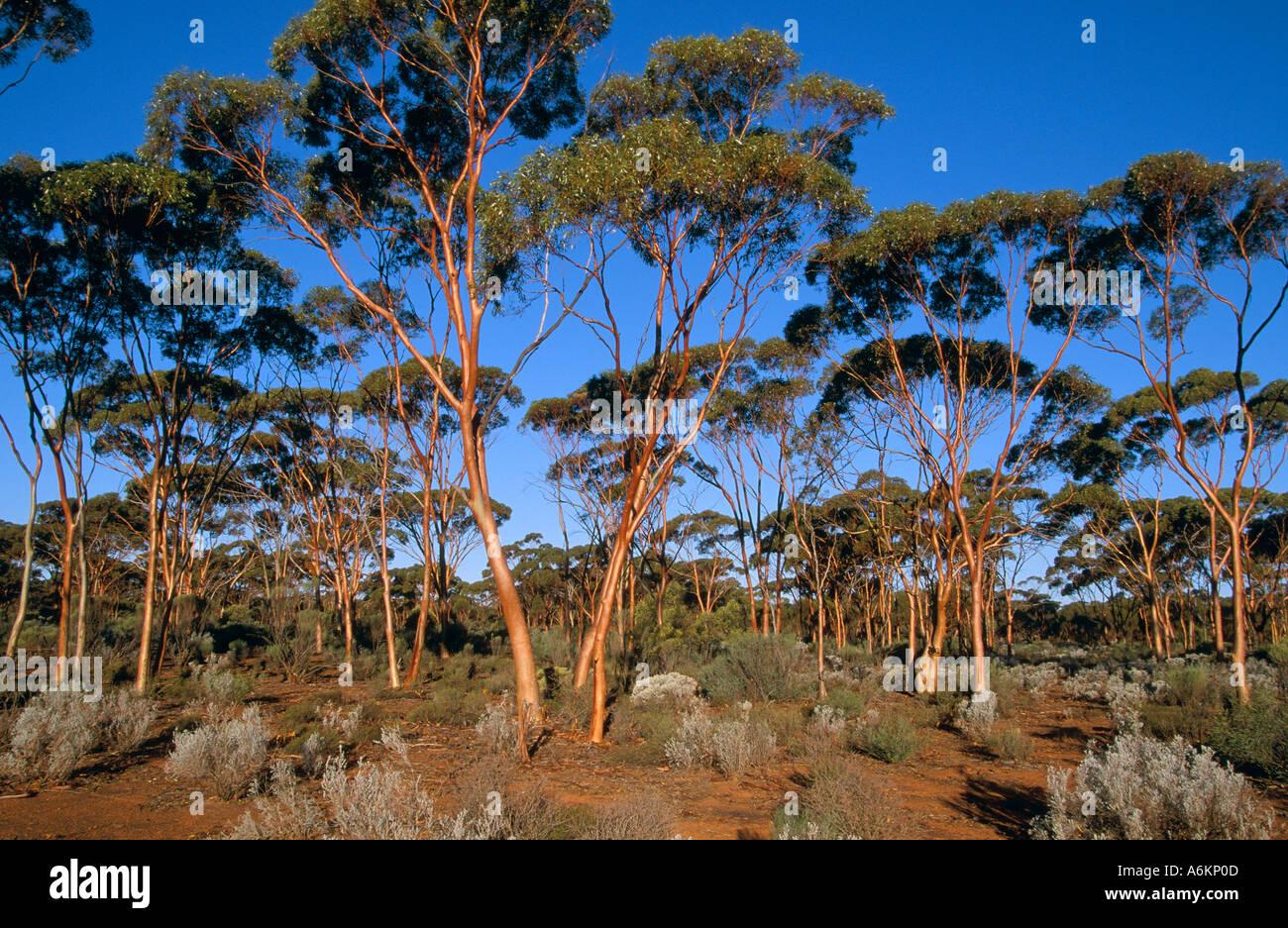 Salmon gums, near Kalgoorlie, Goldfields Region, Western Australia, horizontal, Eucalyptus salmonophloia Stock Photo