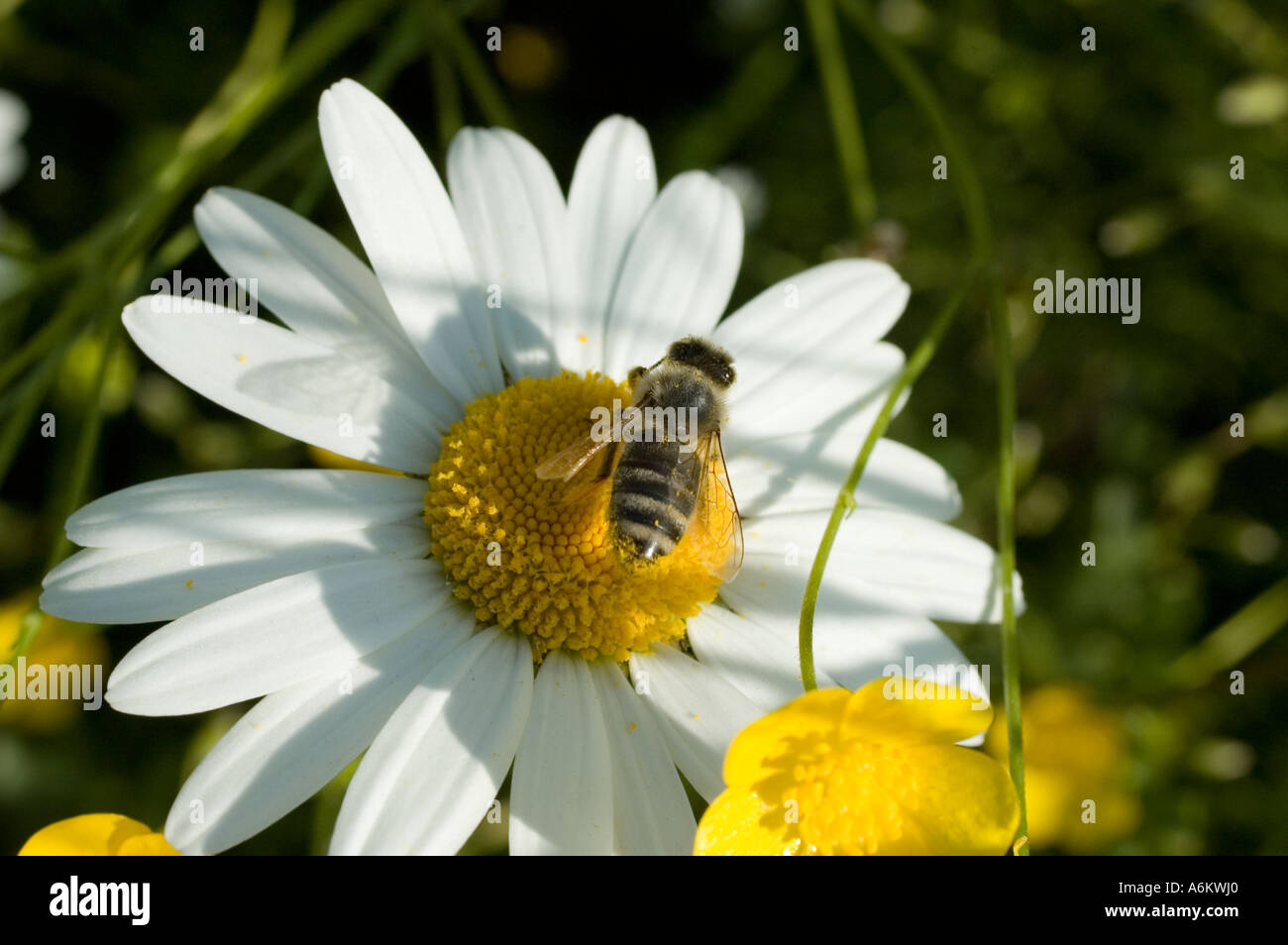Common Flower With A Yellow Center And White Petals Stock Photos